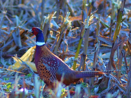 A beautiful pheasant walks through a corn field.
