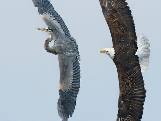 Eagle chasing heron