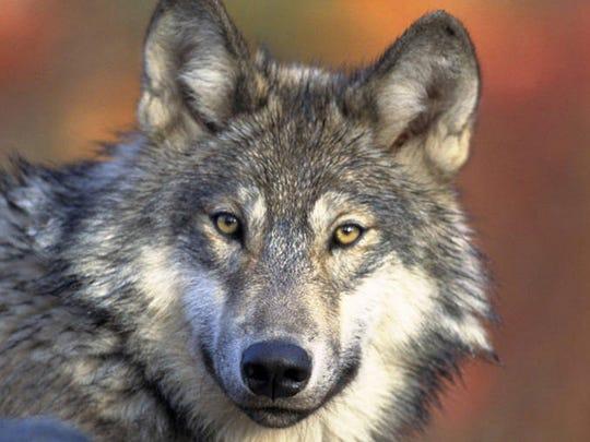 Gray wolf.