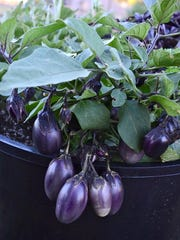 Patio Baby Eggplants arrive early and keep coming over a long season on compact, mounding plants that are sized for containers or small spaces in the garden.
