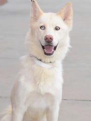 Zoey - Female (spayed) husky mix, adult. Intake date: 3/31/2017