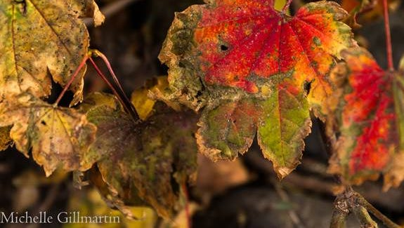 Red Amur Maple at Crystal Peak Park on October 17th, 2014.