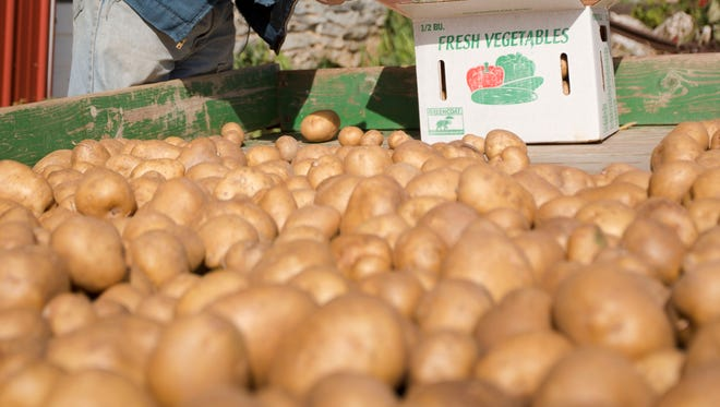 White potatoes on a farm in Pennsylvania.