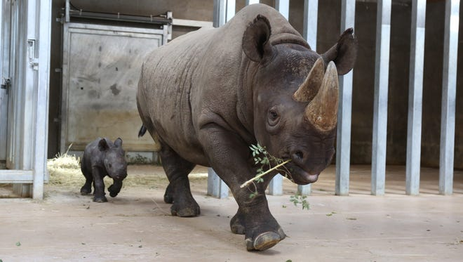 A rare eastern black rhino was born Oct. 11, 2016, at Blank Park Zoo. The female calf, shown at 6 days old, weighs about 80 pounds and is likely the first endangered rhino born in the state of Iowa.