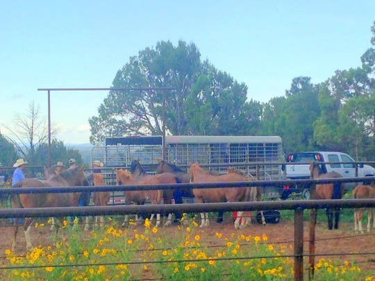 Livestock Board employees load Alto wild mares and their foals into trailers for transport to a holding facility.
