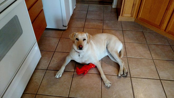 Grace, a 2-year-old Labrador retriever, went missing from her home on Jasmine Drive in Las Cruces during a burglary on Feb. 15, 2018.