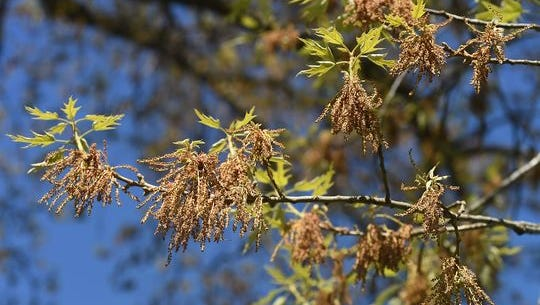 Tree pollen is one of the primary culprits of allergies here in the Ozarks.