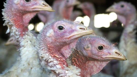 In this Nov. 2, 2005 file photo, turkeys are pictured at a turkey farm near Sauk Centre , Minn. A dangerous strain of avian influenza has turned up at farms in Minnesota, Arkansas, Missouri and Kansas and several western states.