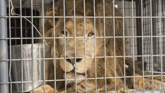 Guero is a 15-year-old African Lion.