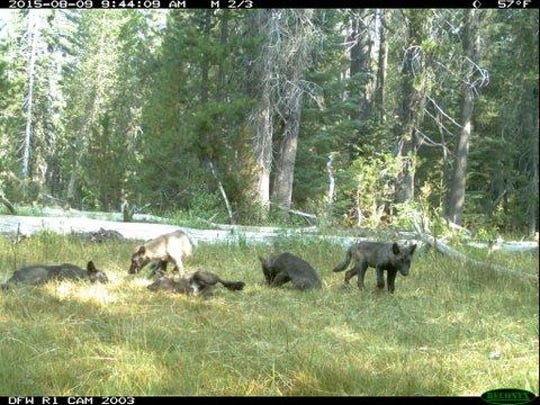 Trail cameras in northern California showed two adult wolves and five pups. It's the first pack of wolves in California in almost a decade.