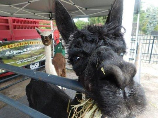 Alpacas and other animals are on site for children to enjoy at The Grande Market Place in Pequannock.