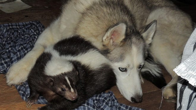 Daisy, a pet skunk, snuggles with her best friend, Illa, a Siberian husky. Both pets, which died last year, belonged to Arthur and Debra Smith of Des Moines. The couple wants to get another pet skunk, which Des Moines does not allow.