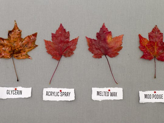 The vibrant colors of autumn leaves are fleeting, but they can be preserved by coating leaves with a variety of substances. The results of four methods are shown on these maple leaves.