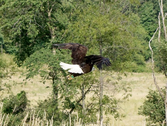 A bald eagle soars Thursday evening as it is released