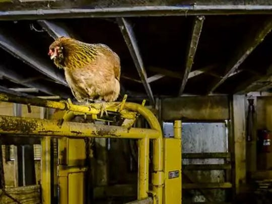 A 6-year-old chicken roosts in her familiar location in an old barn at Fogle Farms.