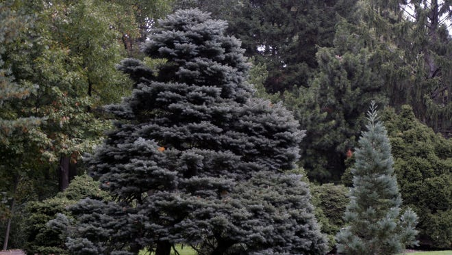 When choosing conifers for the landscape consider the full grown size, the shape of the mature tree as well as texture and color of the needles. A mixed conifer planting can be stunning.