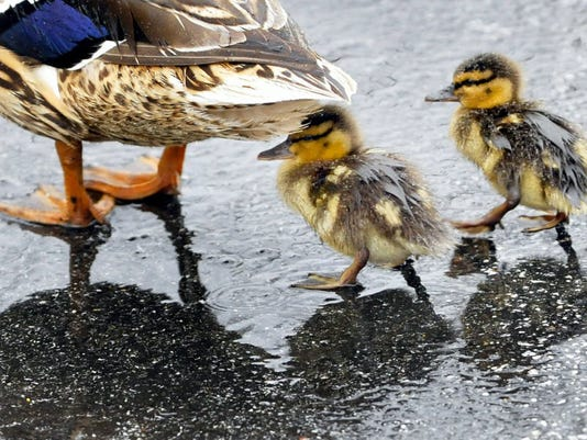 A couple of ducklings take a stroll through the Chambersburg parking lot during an afternoon rain.