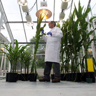 Greenhouse manager, Tom Taylor, inspects corn plants