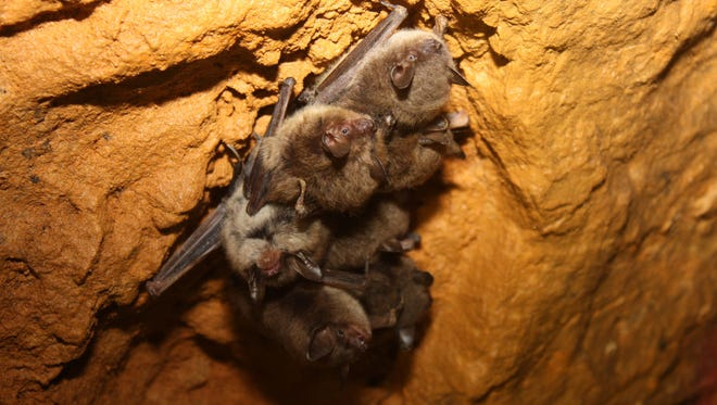 Little brown bats are gathering at their hibernacula. While their winter caves used to be a source of security and protection, a deadly fungus from Europe could turn their caves into morgues.