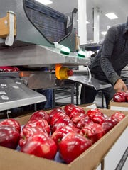 Alfonso Martin helps pack apples for export at Valicoff Fruit in Wapato, Wash.