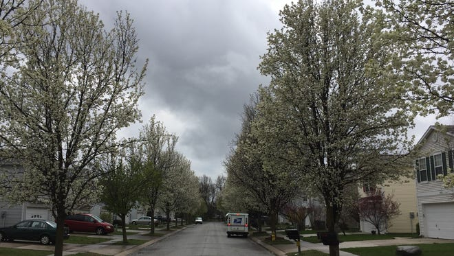 Bradford pear trees bloom April 8, 2016, along Lowell Drive in Noblesville.