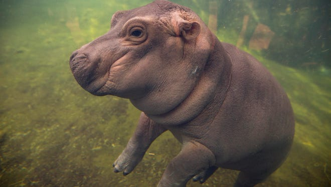 """Fiona made a her debut to the media in Hippo Cove at the Cincinnati Zoo and Botanical Gardens. Even with hardened media, there were plenty of """"oohs"""" and """"ahhs."""" Fiona was born Jan. 24, 2017 to parents, Bibi and Henry. The premature little hippo who would capture the world's hearts, weighed only 29 pounds. Now, she's 270 pounds and is slowing being introduced to her parents."""