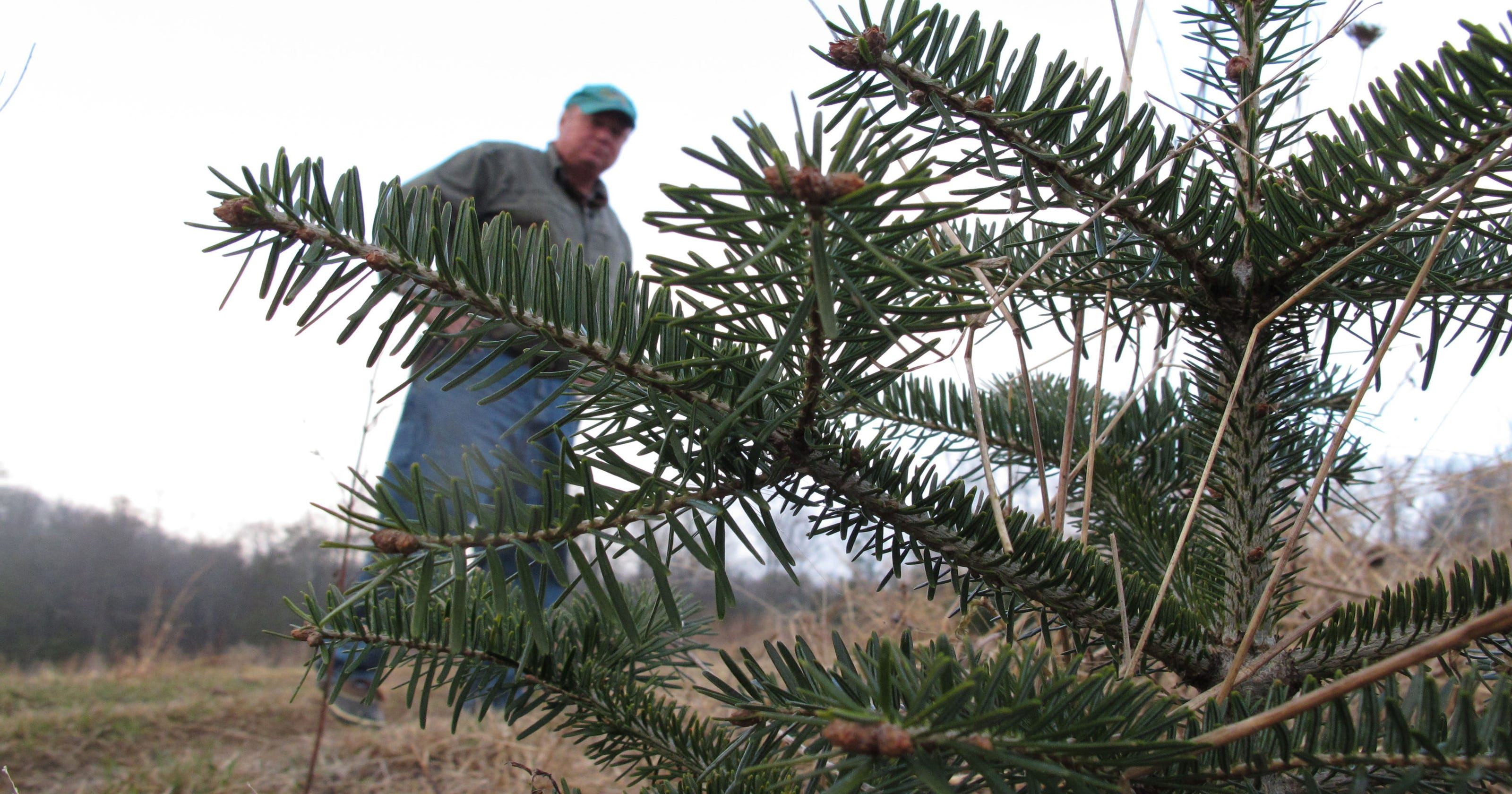 Root Rot Threatens Traditional Christmas Fir Trees