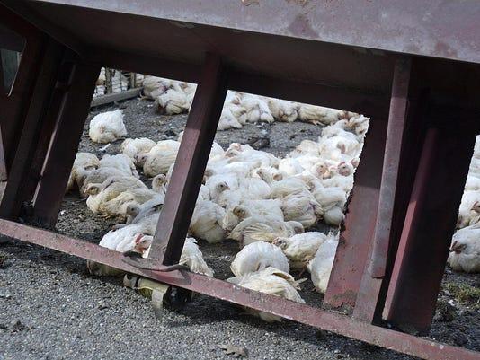 Chicken Truck Accident
