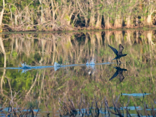 A cormorant skids across the water Wednesday, Feb.