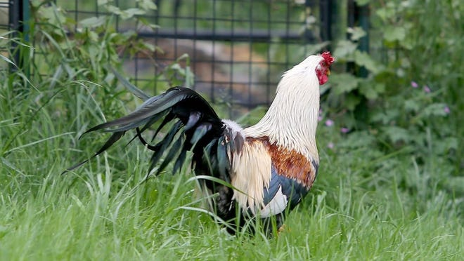The elusive rooster.