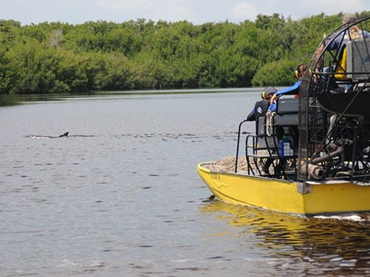 The 8.5-foot dolphin was first spotted swimming in a place he didn't belong by staff of Speedy's Airboat Tours