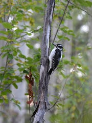 This female hairy woodpecker is common across southeastern Idaho.