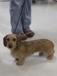 Gizmo, a miniature wire haired dachshund, was part