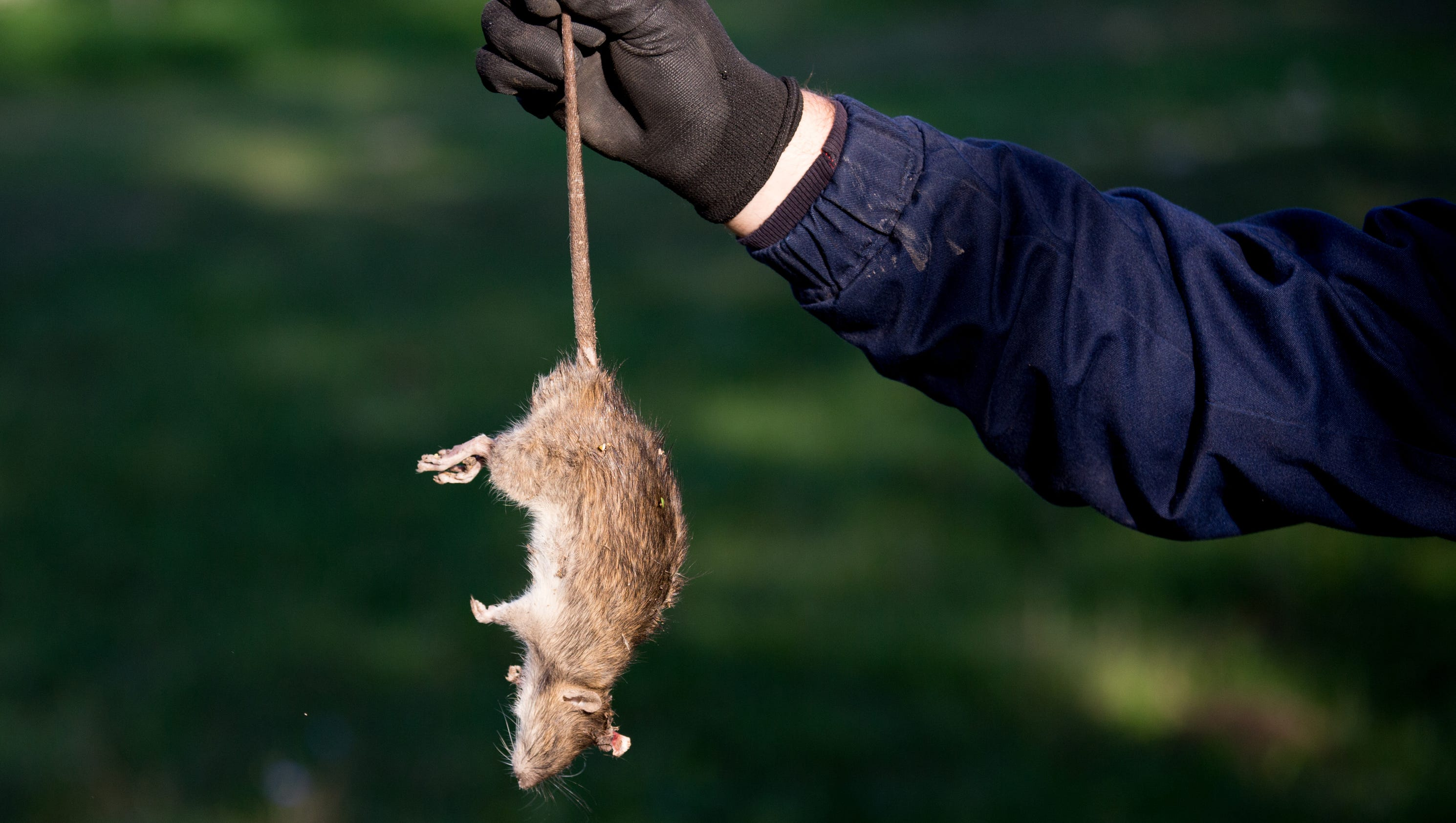 Image result for image, photo, picture, green bay rat problem