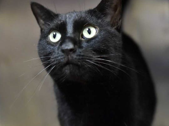 Obsidian - Male (neutered) domestic short hair, about