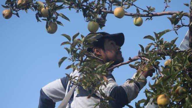 Jesus Ortiz Hernandez picks apples from the top of a tree.