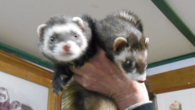 A woman was charged Friday with two counts of animal abandonment and animal cruelty after she allegedly released these ferrets near a trash container at an apartment complex.