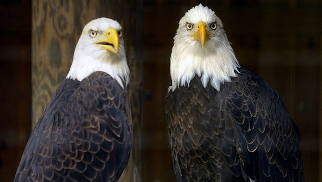 A bald eagle at the Wildlife Sanctuary of Northwest Florida. Six bald eagles have fallen ill in Santa Rosa County.