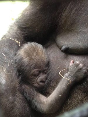 The Knoxville Zoo announced that Hope the gorilla gave birth overnight.