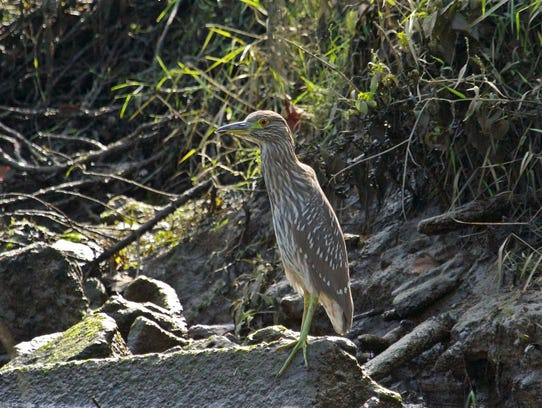 A black-crowned night heron is among the wildlife to