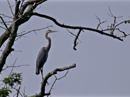 One of many Great Blue Herons seen along the French