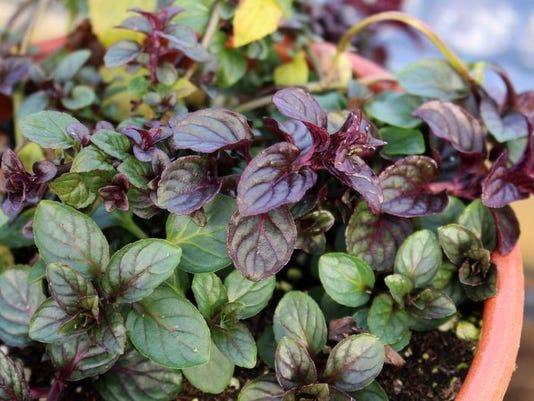 bc-us--gardening-almostchocolate-ref.jpg