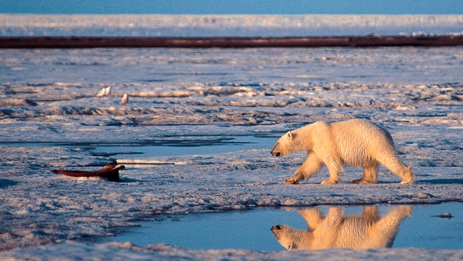 FILE - In this undated handout photo of a polar bear taken in the Arctic National Wildlife Refuge. More than two-thirds of the world's polar bears will be killed off by 2050 - the species completely gone from Alaska - because of thinning sea ice from global warming in the Arctic, government scientists forecast Friday.