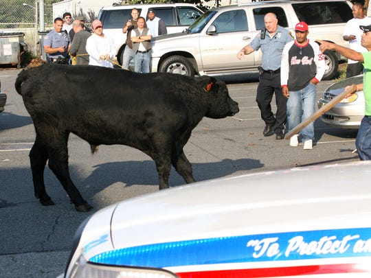 A bull ran loose along E 7th St. in Paterson when it escaped from Ena Meat Packing on Sept. 28, 2009.