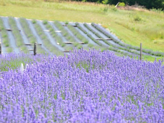 The Michigan Lavender Festival returns this week to Blake Farms in Armada.