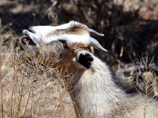 The goats contracted by Roaring Fork Transportation Authority in Glenwood Springs, Colo., as a natural and chemical-free weed management alternative will go after the thorny, rough plants that cattle would normally eschew.