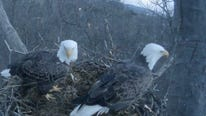 Here's a blow-by-blow report from an afternoon of watching the eagle cam.