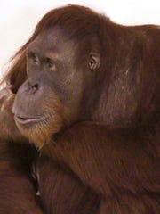 Basan, one of the orangutans at the Indianapolis Zoo, is the father of Sirih's baby.