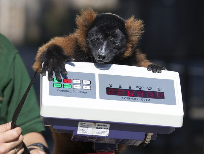 A red-ruffed Lemur named Cid is weighed on Aug. 21 at the London Zoo in England. The height and mass of 16,000 animals at the zoo are recorded and input into the Zoological Information Management System that collects data from 800 zoos and aquariums in 80 countries, allowing zoologists to compare information on thousands of endangered species.