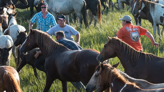 Saltwater Cowboys herd ponies on land just after the Chincoteague Pony Swim on Wednesday, July 26, 2017.